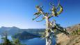 Whitebark pine by a lake