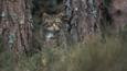 Wildcat stalking on edge of a pine forest