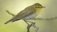Profile of a wood warbler perched on a branch