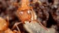 Close-up of a mound ant tending larvae