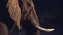 Head of a African bush elephant