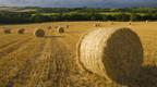 Round straw bales in a field