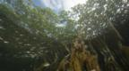 Life around the roots of red mangrove trees