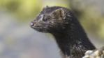 Profile of an American mink