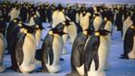 A group of male emperor penguins incubating eggs on ice