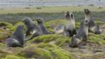 A small group of Antarctic fur seals on a rock