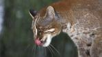 Asian golden cat licking its nose