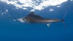 Atlantic sailfish at sea