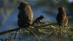 Olive baboons with baby in a thorn tree
