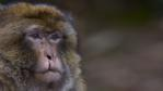 Portrait of an injured adult male Barbary macaque