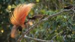 Bird of paradise displaying tail feathers