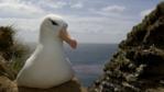 Black-browed albatross sitting on its nest