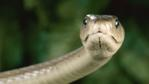 Profile of a black mamba snake