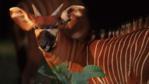 Profile of a bongo antelope