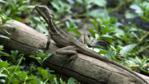 A juvenile brown basilisk