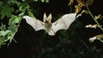 Brown long-eared bat flying through oak leaves