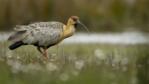 Buff-necked Ibis walking on grass
