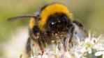 Bumble bee with tip of its tongue curled around a pollen dispensers (c) Martin Webber