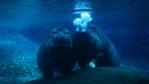 Two hippopotamuses underwater