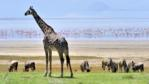 Giraffe and blue wildebeest stand in front of flamingos