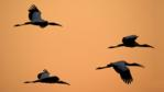 Four American wood ibis in flight