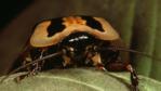 Death's head cockroach climbing over a leaf