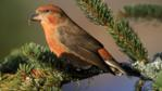 Male red crossbill on branch of spruce tree