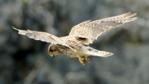 A hovering kestrel (c) Collin Shore