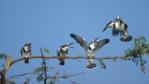 A family of pied kingfishers perched along a branch