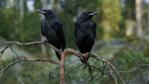 Two raven juveniles in tree
