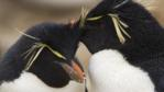 A close-up of two rockhopper penguins courting