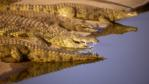 Nile crocodiles by a river