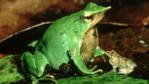Darwin's frog with its young