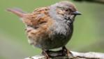 Close up of a dunnock (c) Paul Fram