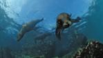 South African fur seals swimming over rocks