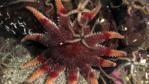 Common sunstar and a brittlestar on the seabed