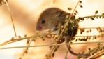 Harvest mouse climbs on a grass seed head