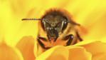 Close up of a honeybee