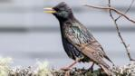 Starling on a tree branch