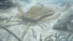 A eurypterid - also known as a sea scorpion - catching the heavily armoured fish, Pteraspis