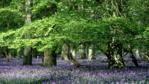 Bluebells with beech trees in oak woods