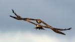 Yellow-billed kites chasing each other