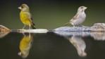 Male and female greenfinch by water