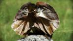 A frilled lizard displaying its frill