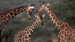 Three reticulated giraffes in Kenya