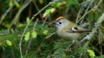 Male goldcrest, with crest showing, perched in a pine tree