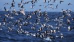 A flock of sooty shearwaters and black-legged kittiwakes feeding from the sea