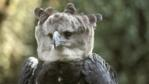 Harpy eagle looking towards camera