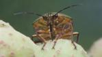 Clown stink bug sucking from kobus magnolia fruit