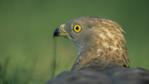 Rear view of a honey buzzard looking around